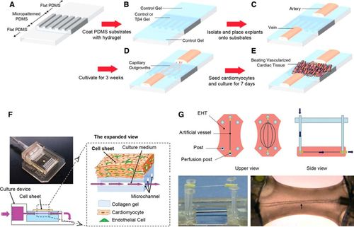 Cardiac Tissue Engineering | Circulation Research