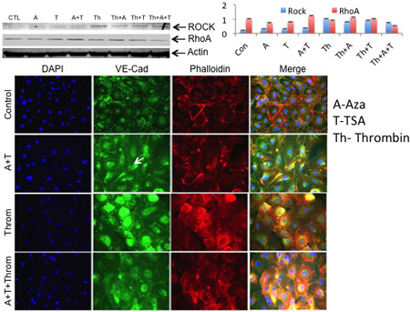 Abstract 13104: Small Molecules Prevent Thrombin Induced Rho