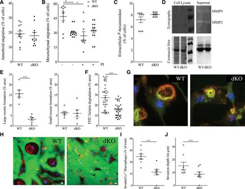 Hck/Fgr Kinase Deficiency Reduces Plaque Growth and Stability by