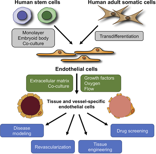 Generation of Endothelial Cells From Human Pluripotent Stem