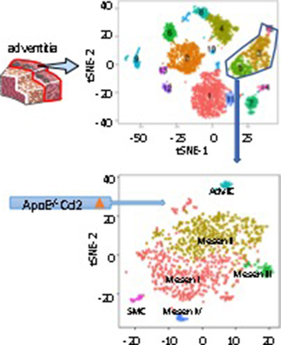 Adventitial Cell Atlas of wt (Wild Type) and ApoE