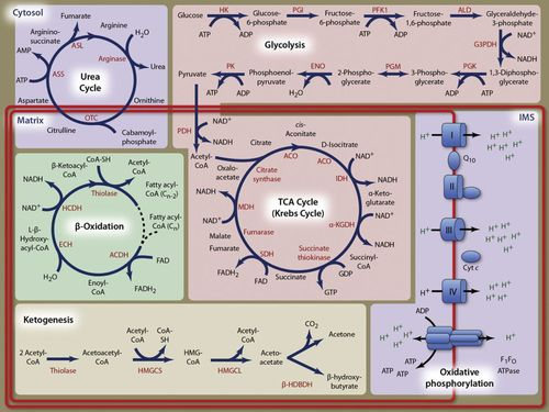 Mitochondrial Control of Cellular Life, Stress, and Death