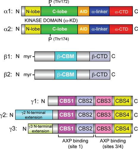 AMP-Activated Protein Kinase | Circulation Research