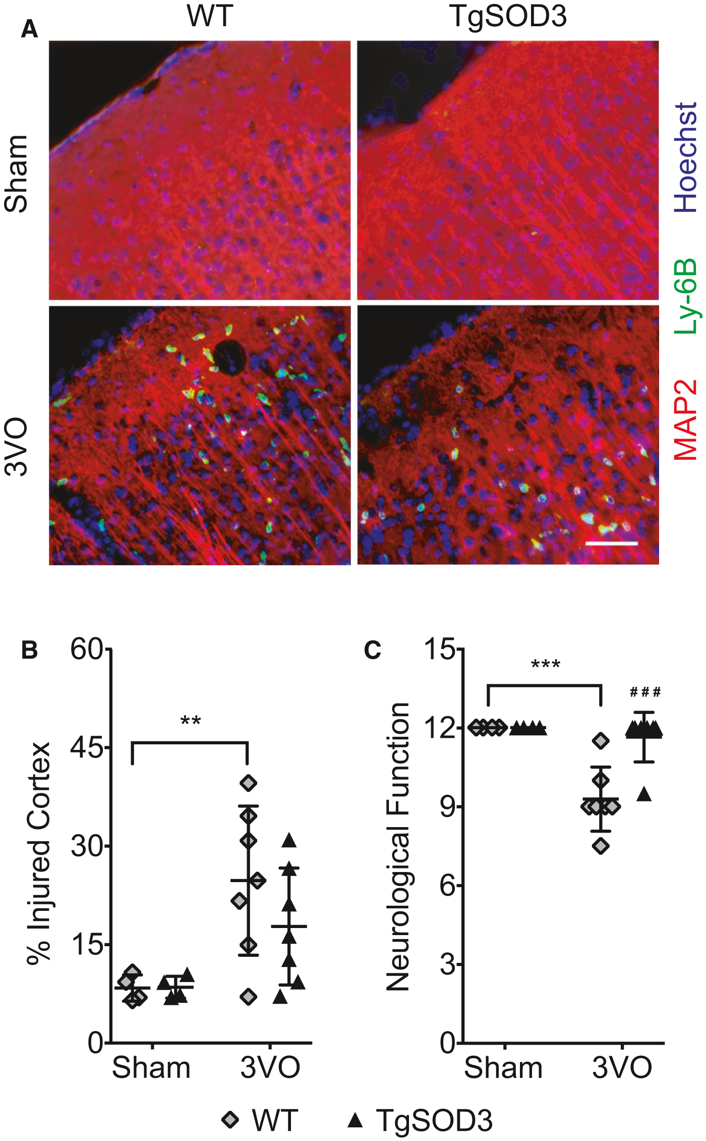 Lung‐Derived SOD3 Attenuates Neurovascular Injury After