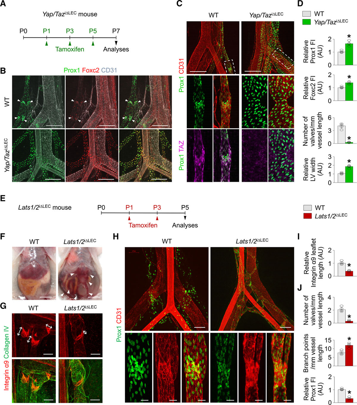 YAP and TAZ Negatively Regulate Prox1 During Developmental