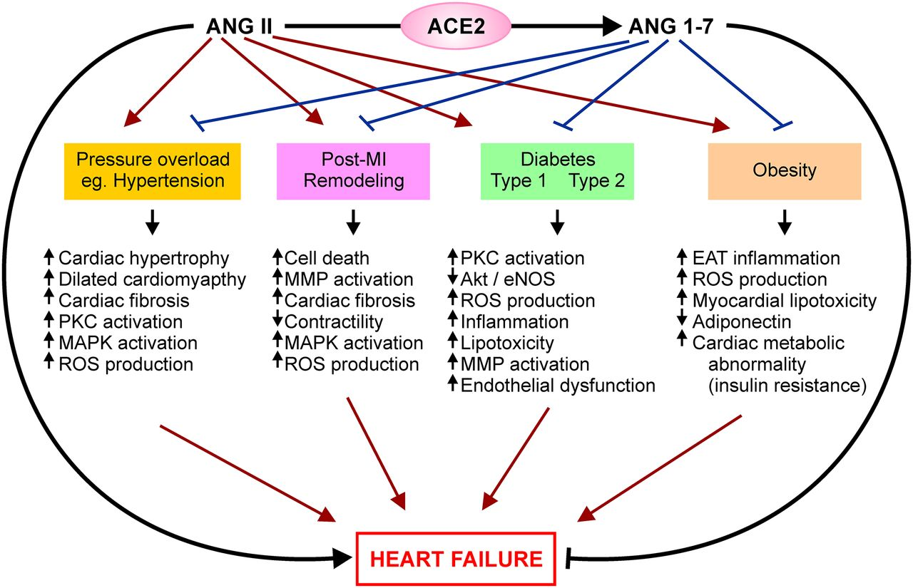 Role of the ACE2/Angiotensin 1–7 Axis of the Renin