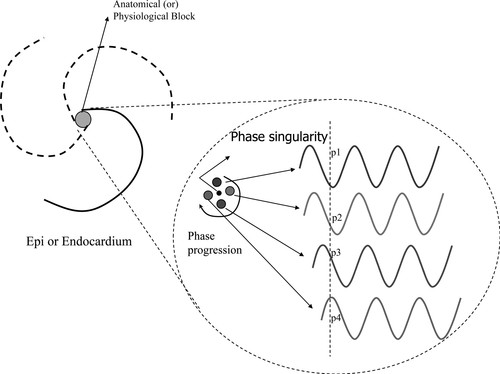 phase mapping of cardiac fibrillation